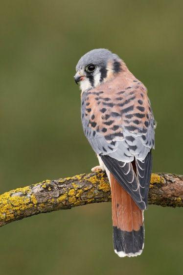 Common_Kestrel_(Falco_tinnunculus)_posing