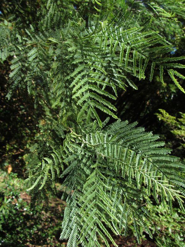 Acacia baileyana resized 600