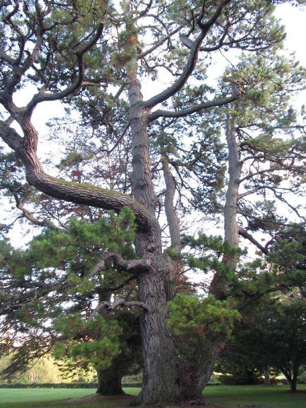 Pinus Tree