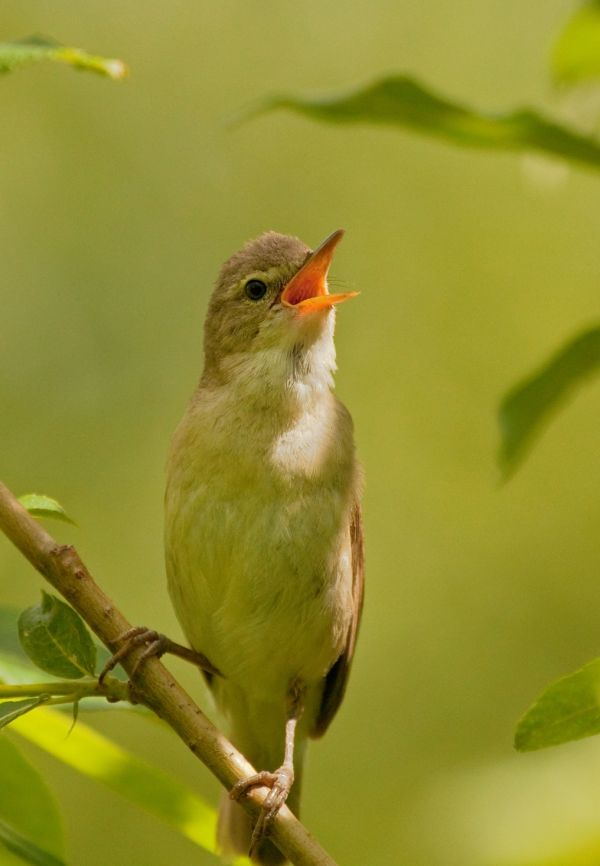 Singing Common Chiffchaff resized 600