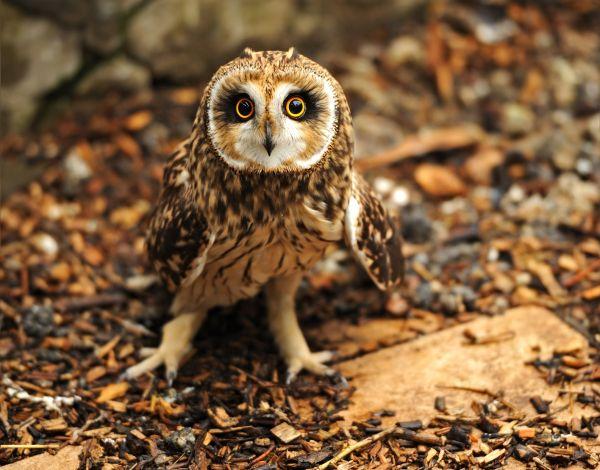 Owl resized 600