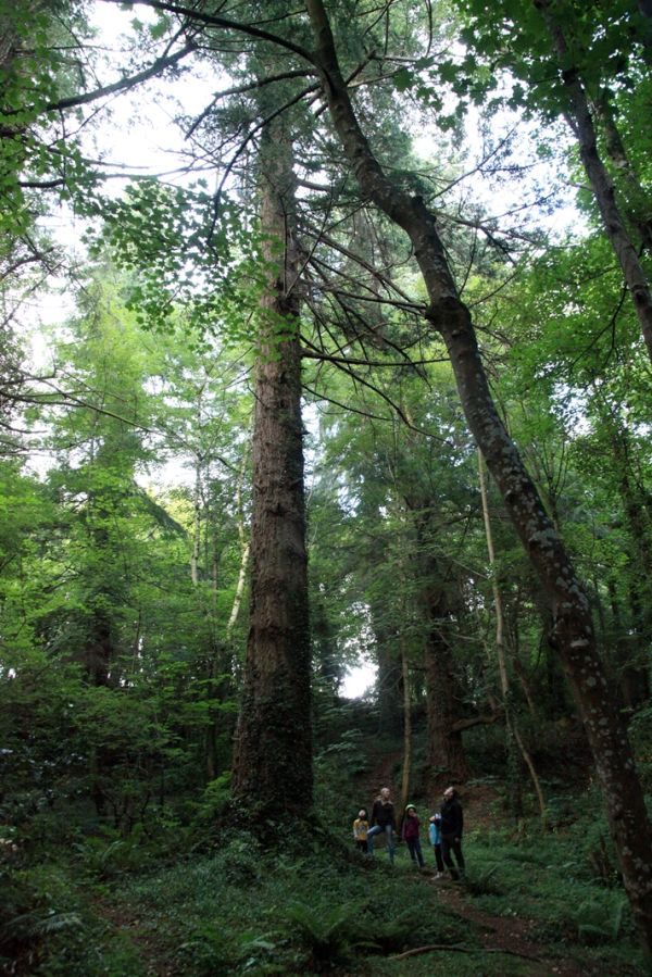 Ireland's Tallest Tree Discovered at Powerscourt
