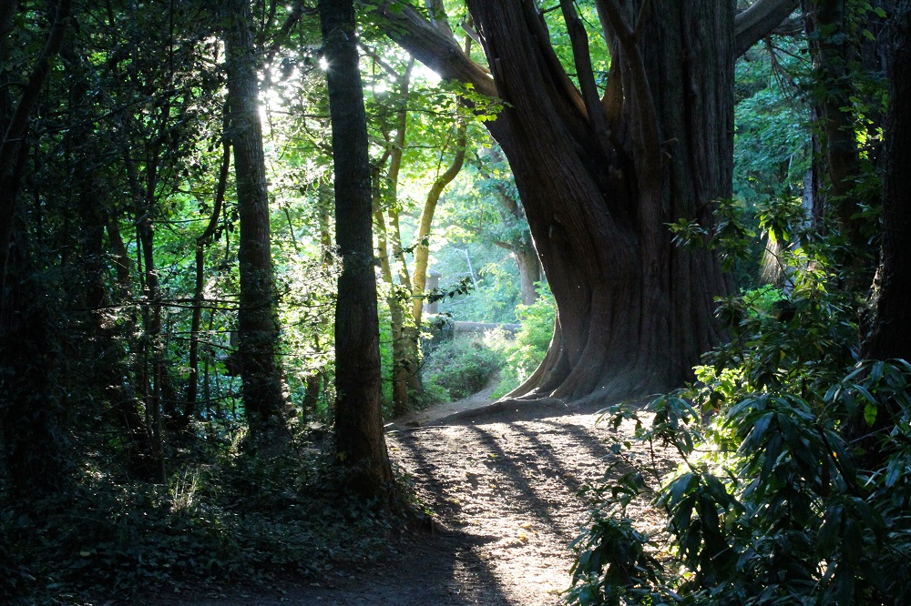 Redwood Tree Powerscourt
