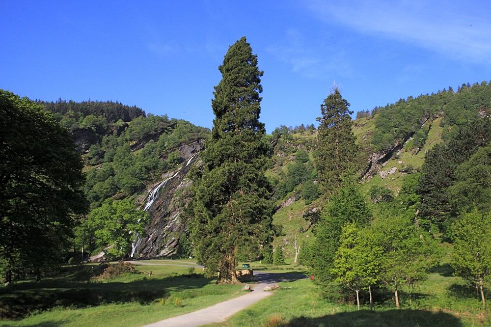 Redwood Tree at Powerscourt Waterfall. Photograph Credit: Powerscourt Estate